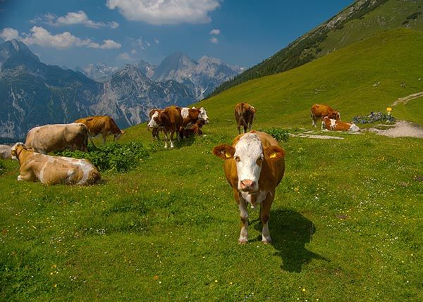 Cow Suicide In Swiss Alps