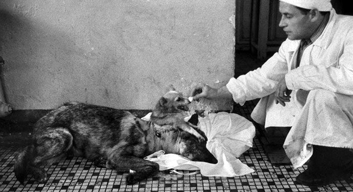 Vladimir Demikhov and the dog with head transplant